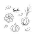 garlic hand drawn in the style vector image