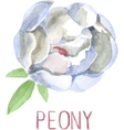 Gorgeous white peony flower Watercolor vector image vector image