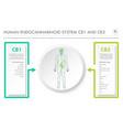 human endocannabinoid system cb1 and cb2 vector image vector image
