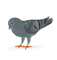 Breeding bird Carrier pigeon domestic sports bird vector image vector image