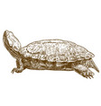 engraving pond slider turtle vector image