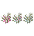 chamaelaucium waxflower blue and pink flowers vector image