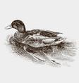 floating wild duck vector image