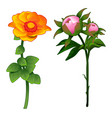 blooming zinnia and non-blooming pink rose vector image vector image