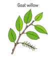 goat willow salix caprea vector image vector image