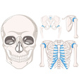 Human skull and other parts of bones vector image