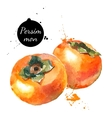Hand drawn watercolor painting persimmon on white vector image vector image