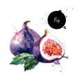 Hand drawn watercolor painting fruit fig on white vector image vector image