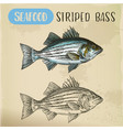 sketch of striper fish or atlantic striped bass vector image
