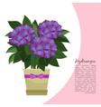hydrangea plant in pot banner vector image vector image