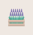 lavender flowers growing in a wooden crate flat vector image vector image