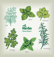 culinary herbs hand drawn vector image