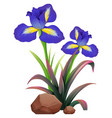 two iris flowers on white background vector image vector image
