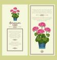 geranium flower in pot banners vector image vector image
