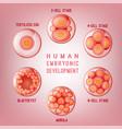 embryo development image vector image vector image
