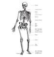 human skeleton vintage vector image vector image