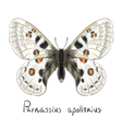 Butterfly Parnassius Apollonius Watercolor vector image vector image
