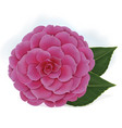 single blooming pink camelia japanese rose vector image vector image