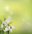 Spring snowdrop flowers on green background vector image vector image