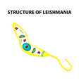 the structure of leishmania vector image