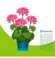 geranium plant in pot banner vector image vector image
