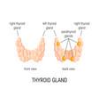 thyroid gland vector image