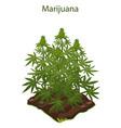 cannabis and marijuana grown on ground vector image