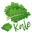 kale vegetable icon cartoon vector image