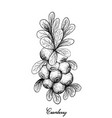 hand drawn of ripe cranberries on white background vector image