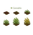 marijuana in stages growth vector image