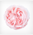 pastel rose vector image vector image