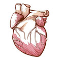 heart with blood vessels arteries veins vector image vector image