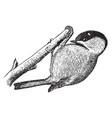 tit bird vintage vector image vector image