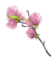 beautiful isolated twig blossoming magnolia tree vector image