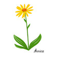 drawing plant of arnica vector image