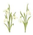 set flowers galanthus botanical vector image