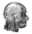 nerves of the face and scalp vintage vector image vector image