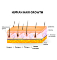 Human hair growth vector image vector image