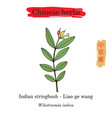 medicinal herbs of china indian stringbush vector image vector image