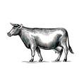 cow hand drawn in elegant vintage engraving vector image