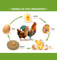 chicken life cycle infographics vector image vector image