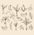 variety banana tree elements vector image vector image