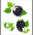 composition of ripe blackberries flowers and vector image vector image