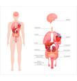 human body internal organs vector image vector image