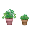 Two Evergreen Plant in Terracotta Pots vector image vector image