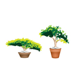Two Evergreen Plant in Terracotta Flower Pot vector image vector image