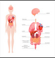 human body internal organs vector image