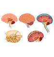 human brain detailed anatomy vector image vector image