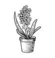 hyacinth flower sketch engraving vector image vector image