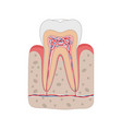 healthy tooth diagram isolated on white background vector image vector image